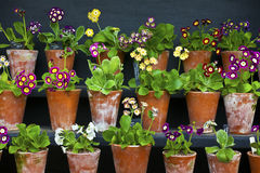 Auriculas in vintage clay pots close-up. Royalty Free Stock Image