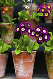Auriculas in vintage clay pots close-up. Royalty Free Stock Images