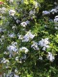 Auriculata плумбаго, голубое плумбаго, стоковое фото rf