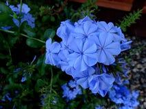 Auriculata плумбаго, плумбаго накидки Стоковые Фотографии RF