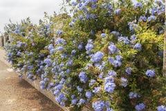 蓝色开花石墨auriculata,海角白花丹属,蓝色茉莉花 图库摄影