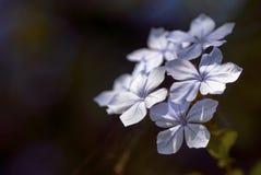 Auriculata del plumbago Fotografie Stock