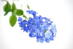 Auriculata Plumbago, λουλούδι ουρανού, λουλούδια ακρωτηρίων leadwort στο λευκό Στοκ Εικόνες