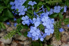 Auriculata Plumbago, μπλε Plumbago, ακρωτήριο leadwort Στοκ φωτογραφία με δικαίωμα ελεύθερης χρήσης