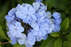 Auriculata Plumbago, μπλε Plumbago, ακρωτήριο leadwort Στοκ Εικόνα