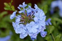 Auriculata Plumbago, μπλε Plumbago, ακρωτήριο leadwort Στοκ Φωτογραφίες