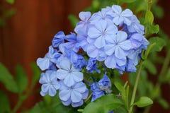 Auriculata Plumbago, μπλε Plumbago, ακρωτήριο leadwort Στοκ Φωτογραφία