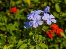 Auriculata Plumbago στο υπόβαθρο φύσης Στοκ εικόνες με δικαίωμα ελεύθερης χρήσης