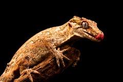 Auriculatus de Rhacodactylus de gecko de gargouille photographie stock libre de droits