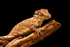 Auriculatus de Rhacodactylus de gecko de gargouille images stock