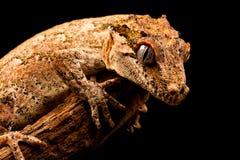 Auriculatus de Rhacodactylus de gecko de gargouille photo libre de droits