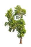 Auriculiformis ακακιών, τροπικό δέντρο που απομονώνεται στοκ φωτογραφία