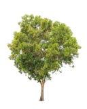 Auriculiformis ακακιών, τροπικό δέντρο που απομονώνεται στοκ φωτογραφίες