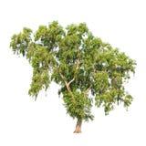 Auriculiformis da acácia, árvore tropical isolada Imagem de Stock Royalty Free