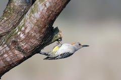 aurifrons противостояли золотистый woodpecker melanerpes Стоковое Фото