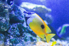 Auriga Butterflyfish Stock Photo