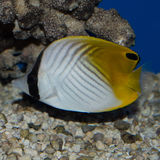 Auriga Butterflyfish. The Auriga Butterflyfish, also known as the Threadfin Butterflyfish, is one of the more popular and readily available butterflyfish stock photo