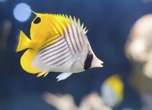 Auriga Butterflyfish (Chaetodon Auriga) Stockbild