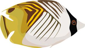 Auriga Butterflyfish (Chaetodon auriga) Stock Image