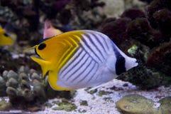 Auriga van vlindervissen de de koralenertsaders van het referreraquarium camoufleren heldere schakeringsnapera Stock Foto's