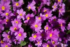 Aurikel在春天, aurcula,樱草属,高山, primuaceae 库存图片
