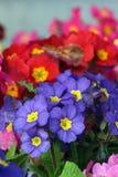 Aurikel von verschiedenen Farben Lizenzfreie Stockbilder