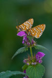 aurinia euphydryas 库存图片