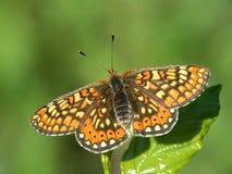 Aurinia van Euphydryas van de vlinder (Melitae). Stock Afbeelding