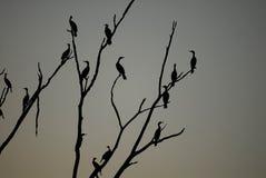 Auritus do Phalacrocorax foto de stock royalty free