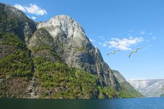 Aurlandsfjord and Naeroyfjord - UNESCO protected fjord - cruise. Naeroyfjord and seagulls. royalty free stock photography