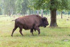 Aurochs Photo stock