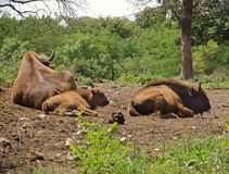 Aurochs Stock Foto