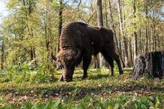 Aurochs Foto de Stock Royalty Free