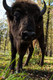 Aurochs Imagem de Stock