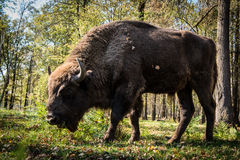 Aurochs Photographie stock