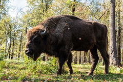 Aurochs Foto de Stock Royalty Free