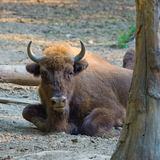 Aurochs. During the afternoon siesta Royalty Free Stock Photos