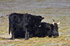 Aurochs animal Bos primigenius Stock Image