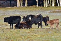 Aurochs animal Bos primigenius Royalty Free Stock Photos