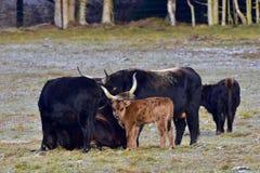 Aurochs animal Bos primigenius Stock Photo