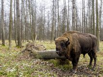 Aurochs, big animal in the forest. The European bison Bison bonasus, also known as wisent or the European wood bison, Russia