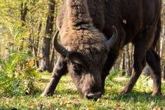 Aurochs Stock Images