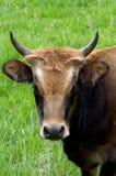 Aurochs, boeuf Photo libre de droits