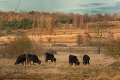 Aurochs & x28;Bos primigenius& x29;. In the Milovice steppe. Wild cows pasturing in the Central Eutopian steppe. A herd of black cows in the beautiful landscape Royalty Free Stock Photo