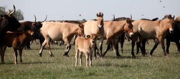 Aurochs calf. And asian wild horses in the nature reserv in Hungary Stock Image