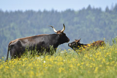 Aurochs with calf Stock Image