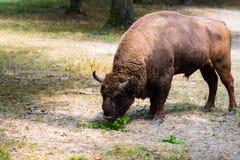 Aurochs en la reserva de Hateg, Rumania fotos de archivo