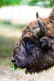 Aurochs en la reserva de Hateg, Rumania imágenes de archivo libres de regalías