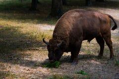 Aurochs en la reserva de Hateg, Rumania fotos de archivo libres de regalías