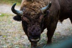 Aurochs en la reserva de Hateg, Rumania fotografía de archivo